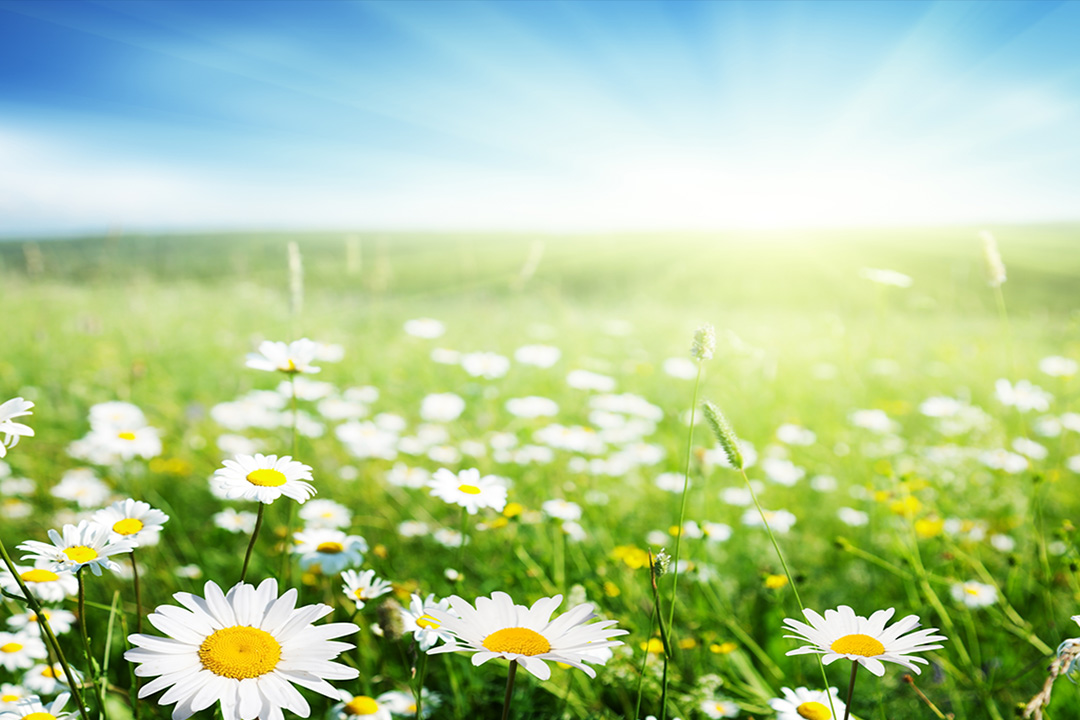 wild daisies in the environment